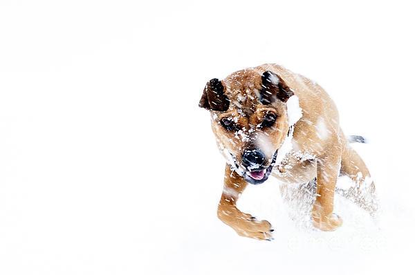 Bounding In Snow Print by Thomas R Fletcher