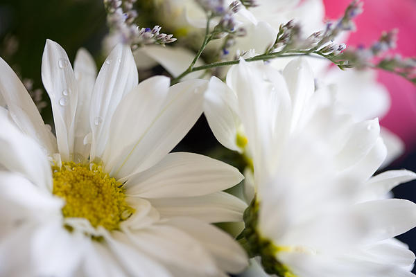 Bouquet Of Daisies Print by John Holloway