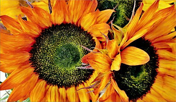 Bouquet Of Sunflowers Print by Danielle  Parent