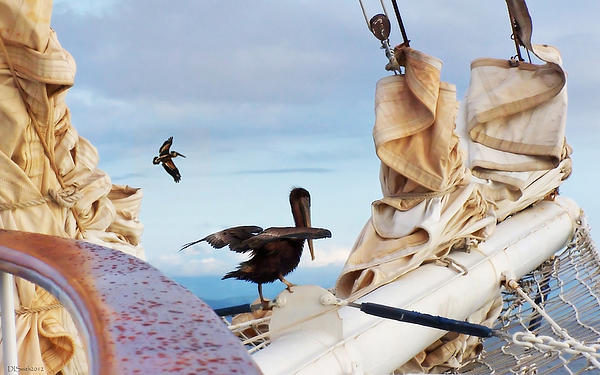 Bowsprit Pelicans Print by Deborah Smith