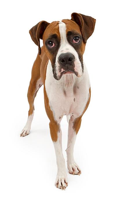 Boxer Dog Isolated On White Print by Susan  Schmitz