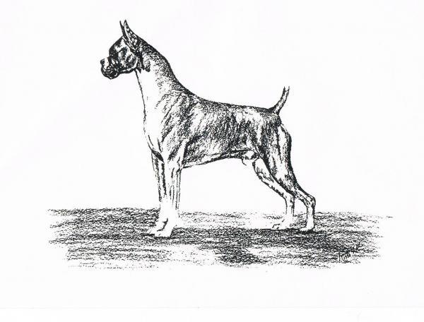 Boxer Print by Joann Renner