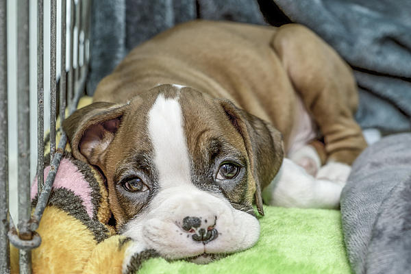 Boxer Puppy Among Toys Print by Tony Moran