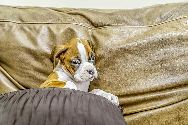 Boxer Puppy On Couch Print by Tony Moran