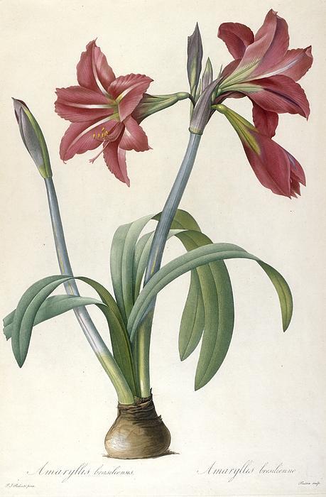 Brazilian Amaryllis Print by Pierre Joseph Redoute