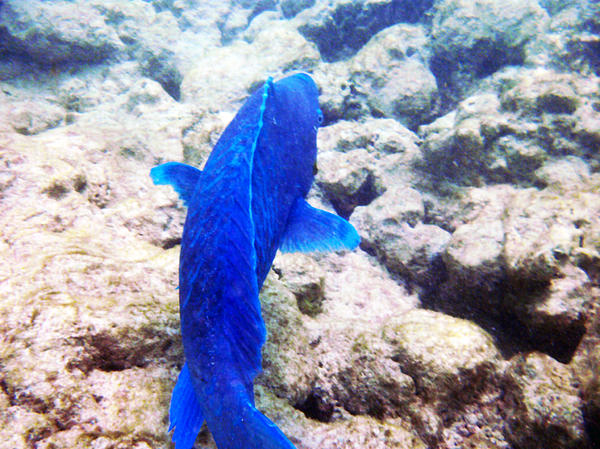 James Turnbull - Bright Blue Parot Fish at De Palm Island Aruba