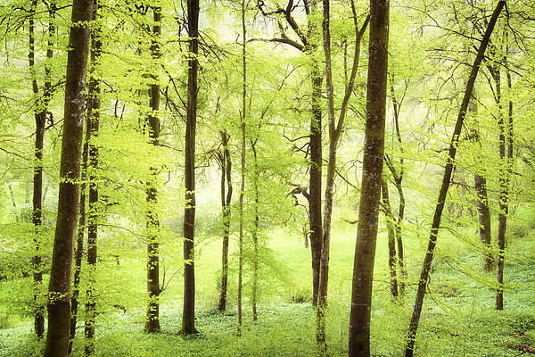 Bright Green Forest In Spring With Beautiful Soft Light  Print by Matthias Hauser