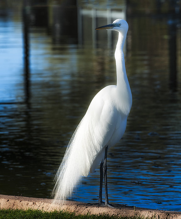 Dee Browning - Bright Plumage of a Great Egret
