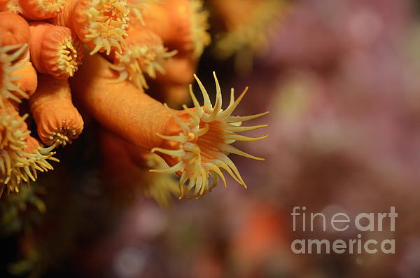 Brightly Colored Yellow Encrusting Anemone Print by Sami Sarkis