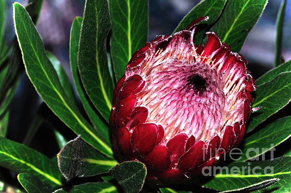 Bright'n'happy Protea Print by Kaye Menner