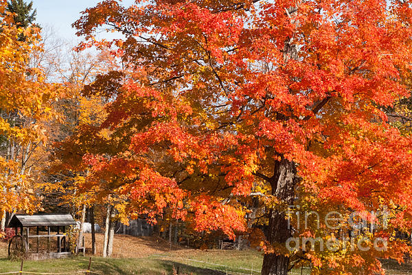 Brilliant Red Maple Tree On A Farm In Autumn Near Marlboro Vermont Print by Robert Ford