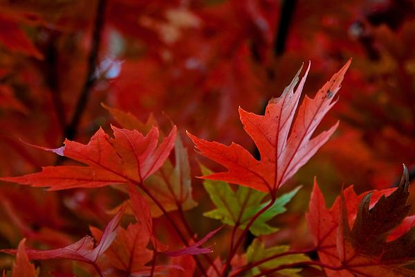 Brilliant Red Maples Print by Linda Unger