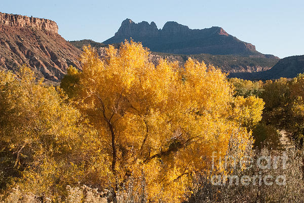 Brilliant Yellow Fall Colors Along The Virgin River Utah Print by Robert Ford