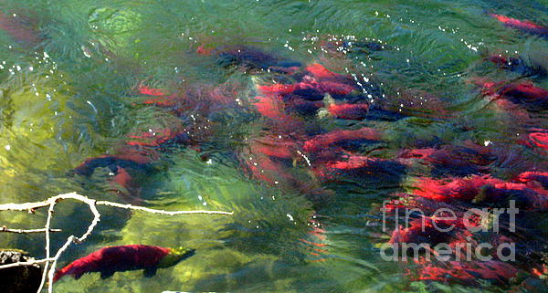 Kathy Bassett - British Columbia Salmon Run