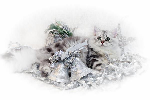 British Longhair Cat Christmas Time Print by Melanie Viola