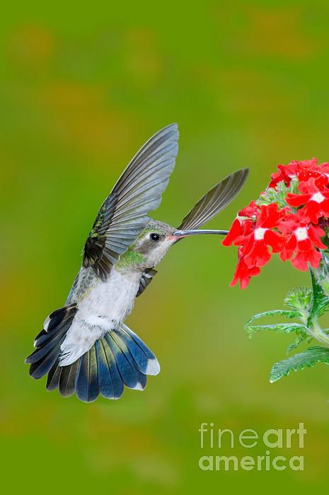 Broad-billed Hummingbird Print by Anthony Mercieca