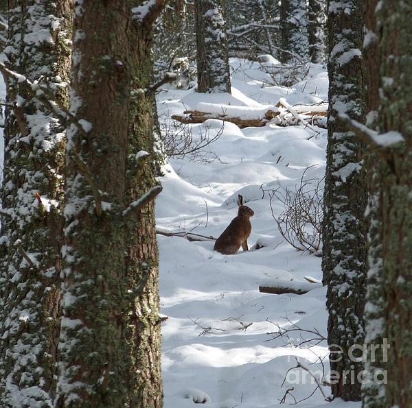 Brown Hare - Snow Wood Print by Phil Banks