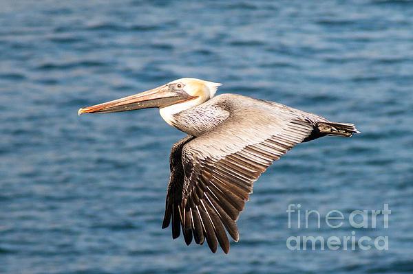 Brown Pelican Flying Print by Darleen Stry