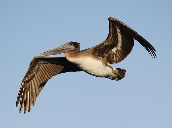 Brown Pelican Print by Paulette Thomas