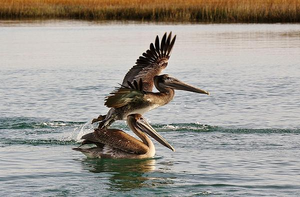 Brown Pelicans In The Marsh Print by Paulette Thomas