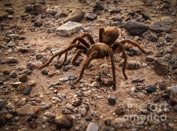 Robert Bales - Brown Tarantula