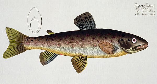 Brown Trout Print by Andreas Ludwig Kruger