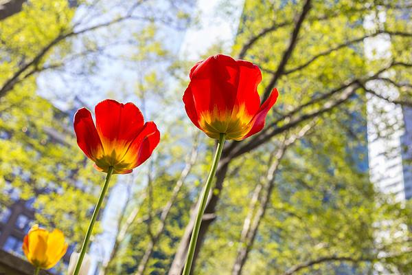 Bryant Park Tulips New York  Print by Angela A Stanton