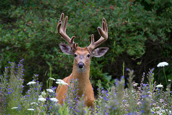 Buck In Meadow Print by Jim Cumming