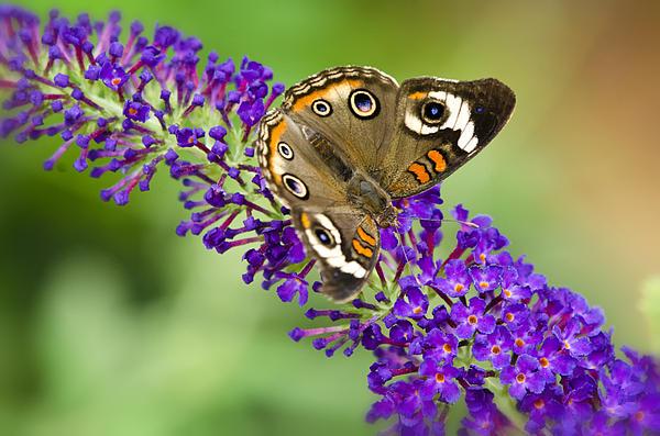 Buckeye Butterfly On Purple Flowers Print by Saija  Lehtonen
