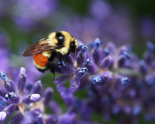 Bumblebee On Lavender Print by Rona Black