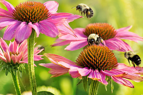 Bumbling Bees Print by Bill Pevlor