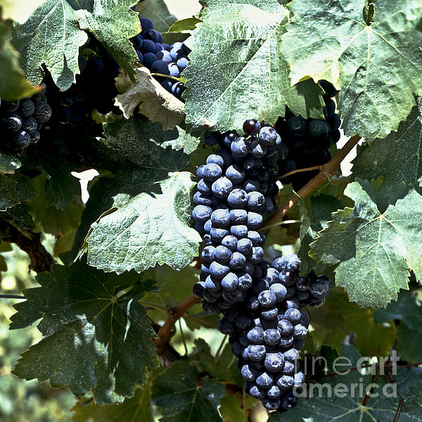 Bunch Of Grapes Print by Heiko Koehrer-Wagner