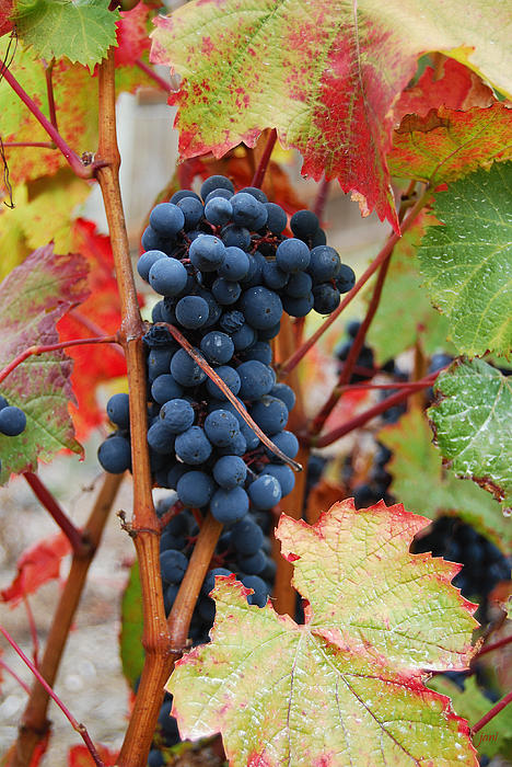 Bunch Of Grapes Print by Jani Freimann