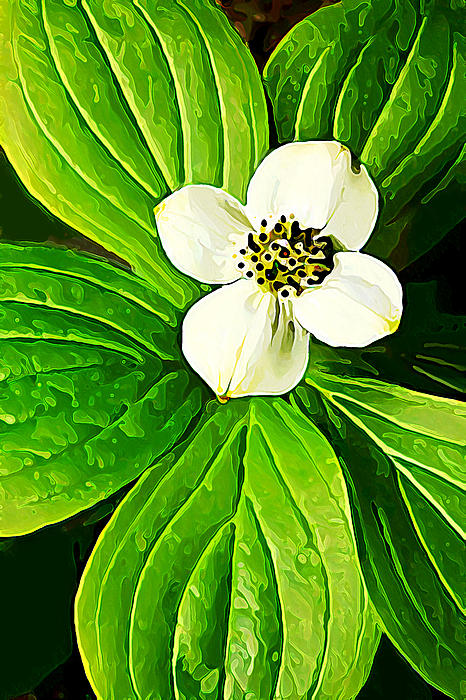 Bunchberry Blossom Print by Bill Caldwell -        ABeautifulSky Photography