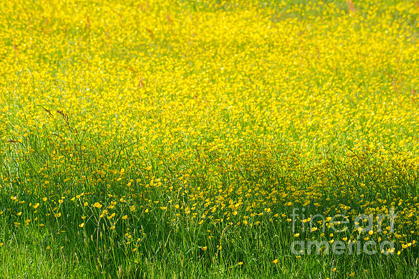 Buttercups Print by Lutz Baar