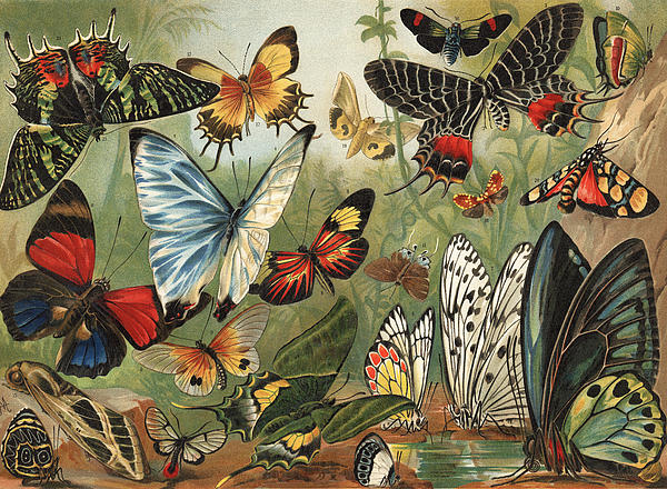 Butterflies 2 Print by Mutzel