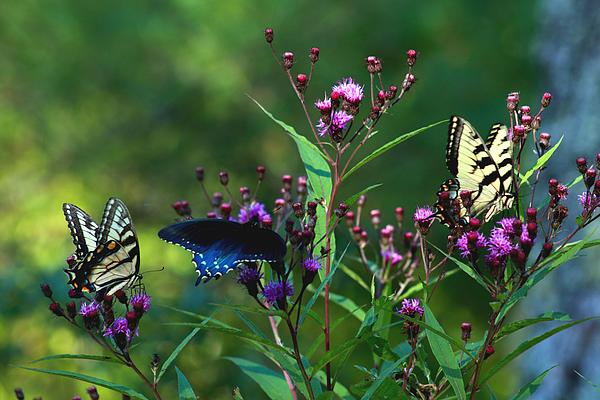Carol R Montoya - Butterflies Three
