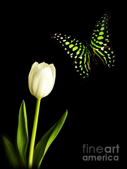Butterfly And Tulip Print by Edward Fielding