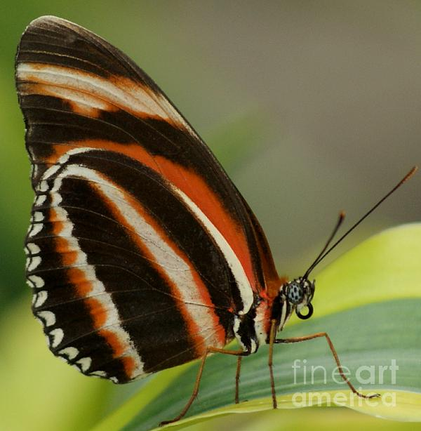 Butterfly Autumn With Green Head Print by Gail Matthews