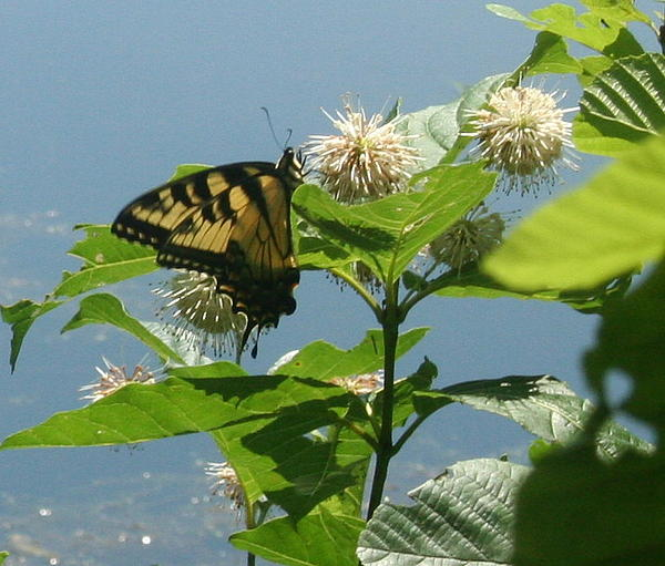 Butterfly By The Water Print by Stephen Melcher