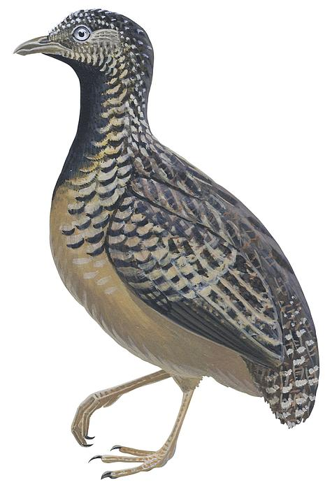 Button Quail Print by Anonymous