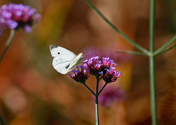 Cabbage White Butterfly In Fall Print by Karen Adams