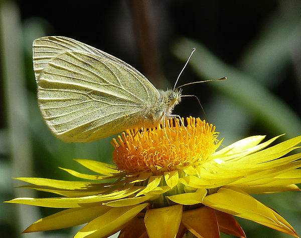 Cabbage White On Yellow Daisy Print by Margaret Saheed