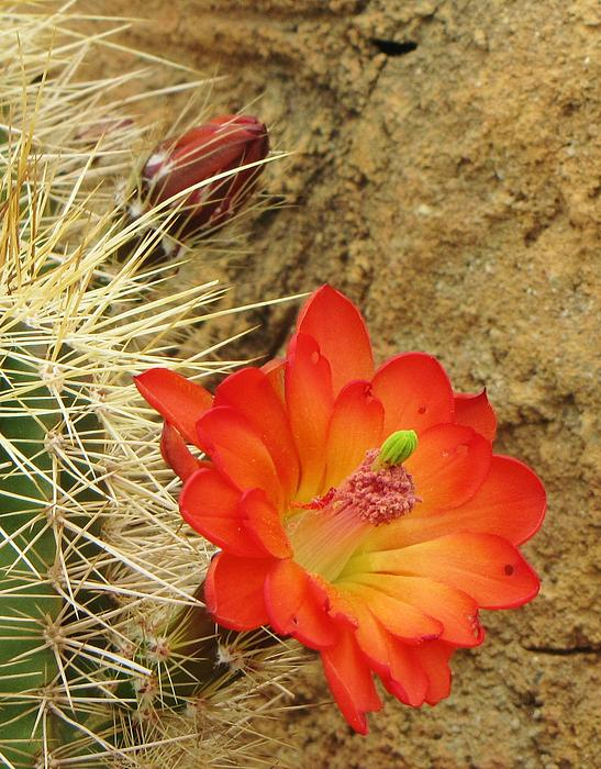 Cactus Flower Bright Print by Feva  Fotos