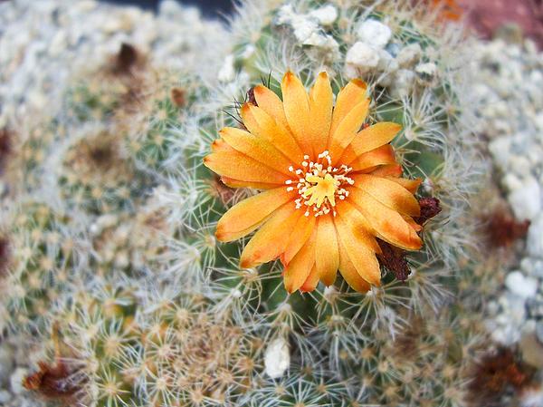 Cactus Flower Print by Marina Oliveira