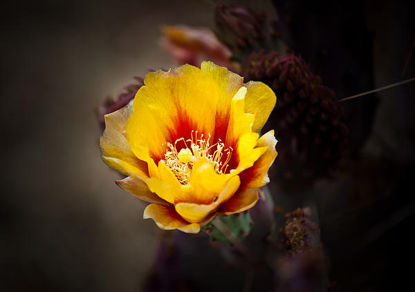 Cactus Flower Print by Swift Family