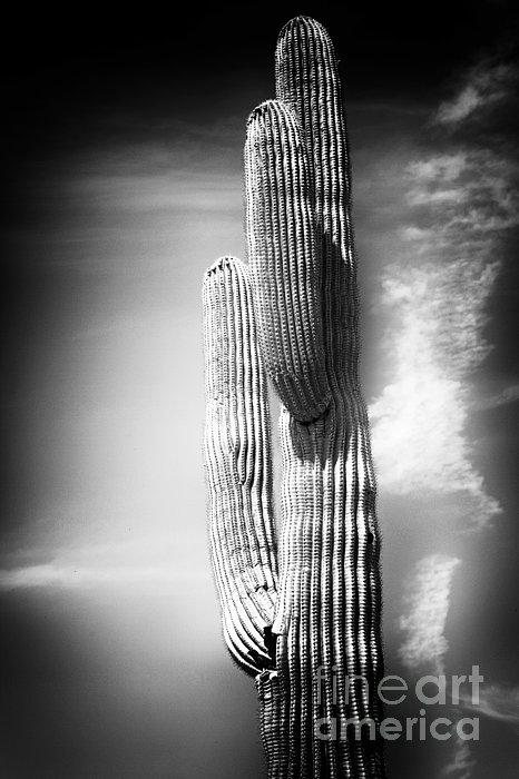 Cactus Spoltlight Print by John Rizzuto