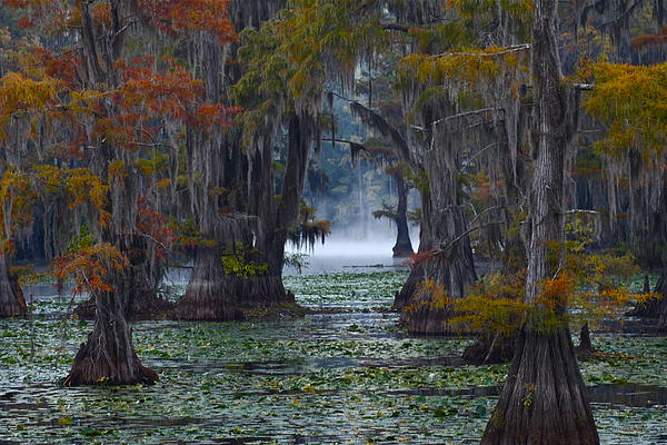 Snow White - Caddo Lake Morning