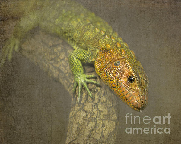 TN Fairey - Caiman Lizard - Houston Zoo