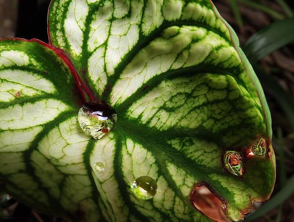 Caladium Leaf After Rain Print by Deborah Smith